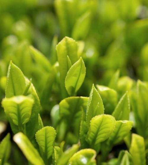 Sữa Tắm Dưỡng Ẩm Và Chống Lão Hoá Trà Xanh Innisfree Green Tea Pure Body Cleanser 300ml