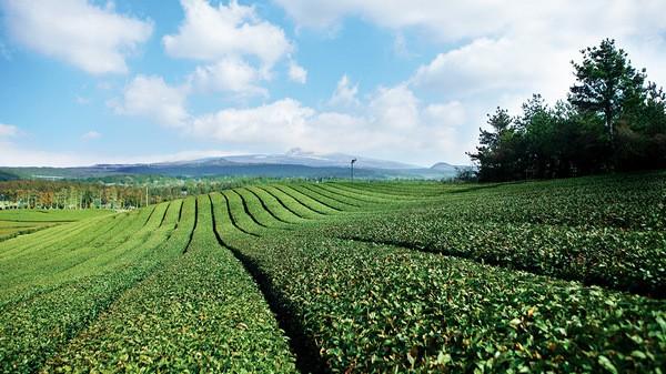 Tinh Dầu Dưỡng Chất Trà Xanh Innisfree The Green Tea Seed Oil 30ml