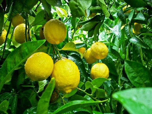 Thành phần Enesti Lemon Multi Care Mask 27g