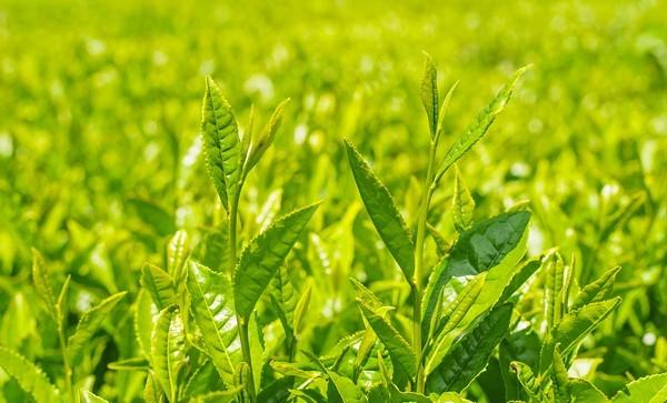 Thành phần Sữa Rửa Mặt Dạng Gel Tạo Bọt Innisfree Green Tea Cleansing Gel-To-Foam